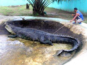 Гребнистый или морской крокодил