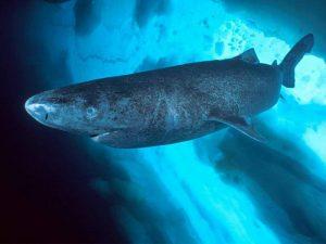 Интересные факты о гренландской акуле. 8 фактов о гренландских акулах