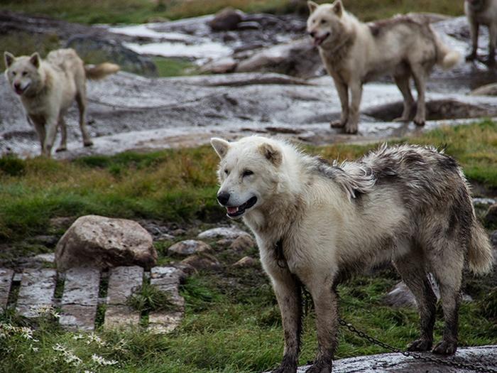Гренландские хаски
