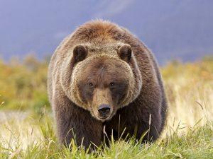 Американский медведь