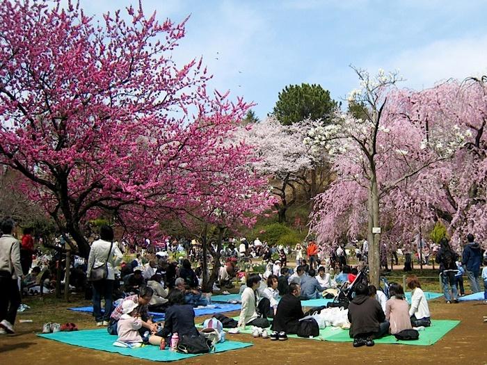 Ханами - цветение сакуры дни отдыха