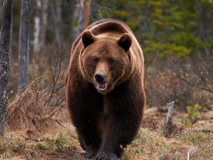 Сибирский-медведь-Описание-и-образ-жизни-сибирского-медведя-1