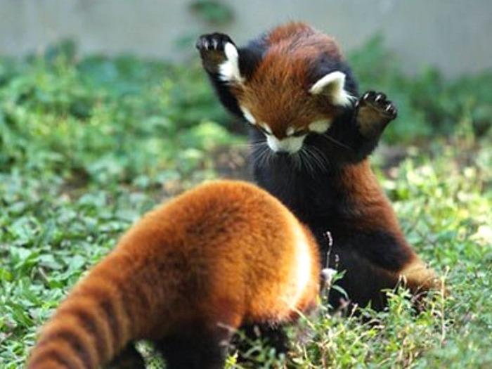Фото-красной-панды-Лучшие-фото-6