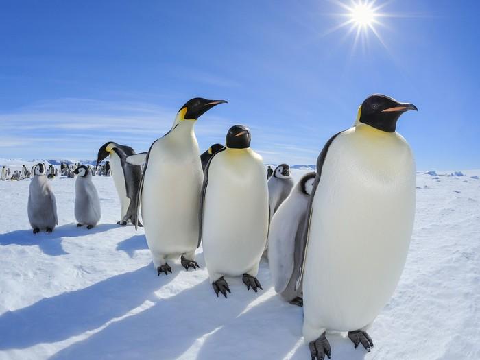 где живут Императорские пингвины