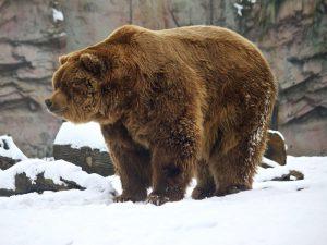 Кадьяк медведь. Описание и образ жизни кадьяка