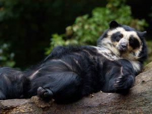 Древесные медведи