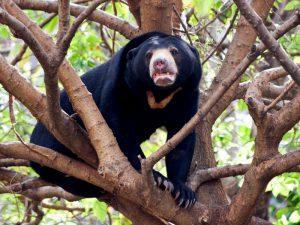 Бируанг на дереве