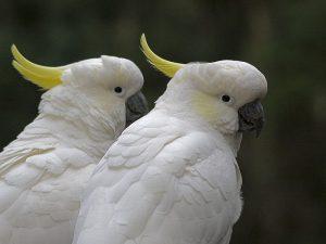 Белые близнецы