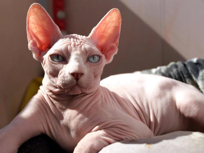 Необычные породы домашних кошек