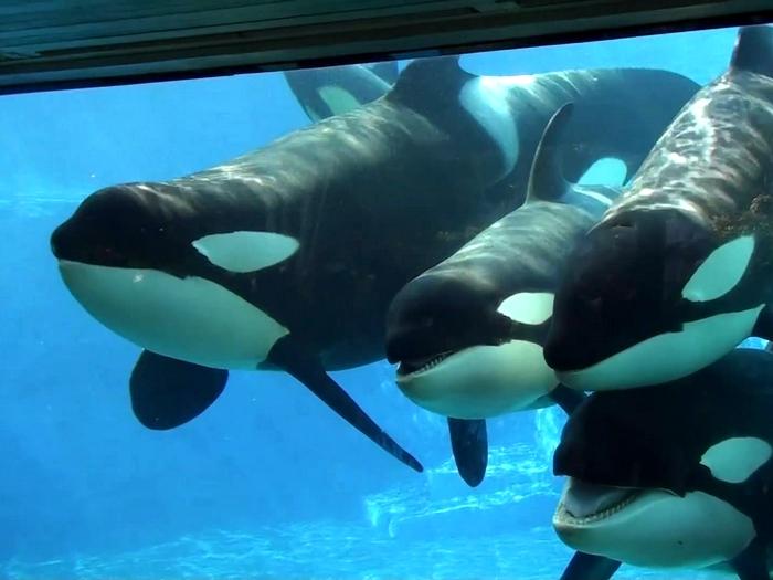 Касатки умнее дельфинов