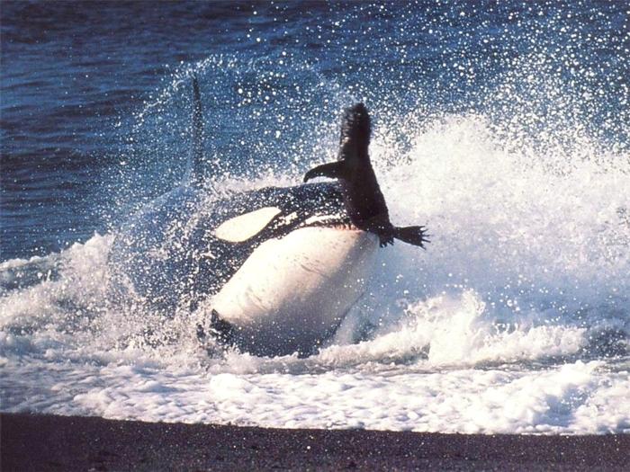 Пойманный тюлень