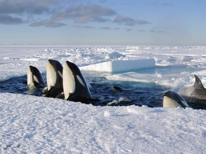 антарктические транзитные косатки