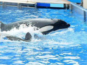 Касатки в дельфинариуме