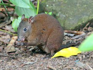 Жующая кенгуровая крыса
