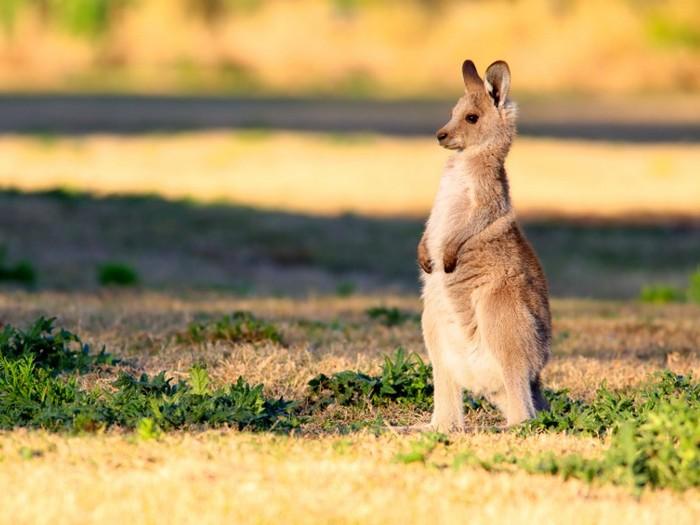 Удивленный кенгуру