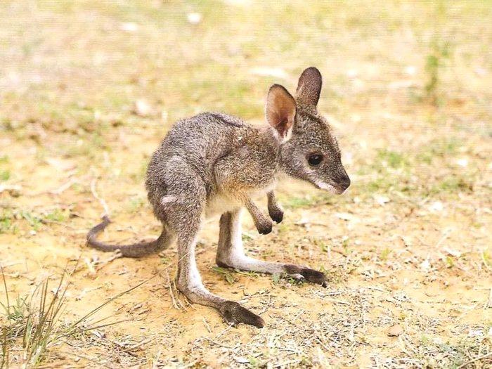 Маленький кенгуренок