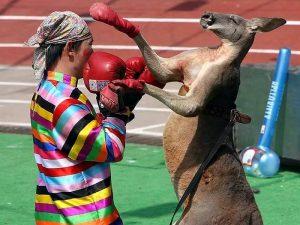 Тайско-кенгуриный бокс