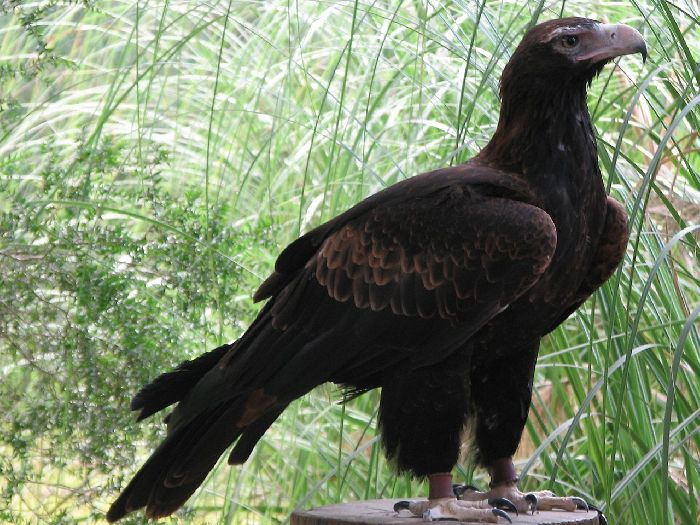 Клинохвостый орёл