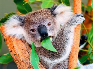 Эвкалипт — еда коалы