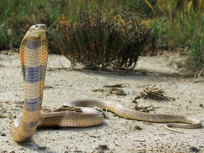 Среднеазиатская кобра