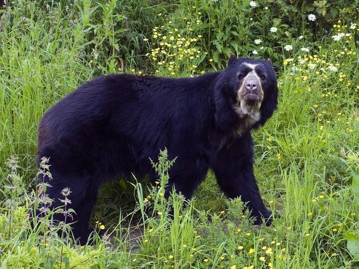 Медведи разной окраски