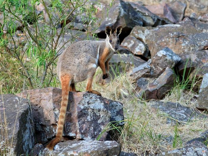 Кольцехвостый кенгуру