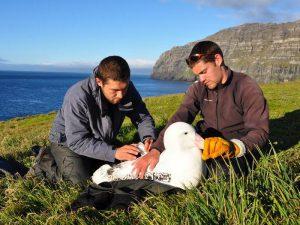 Кольцевание альбатросов