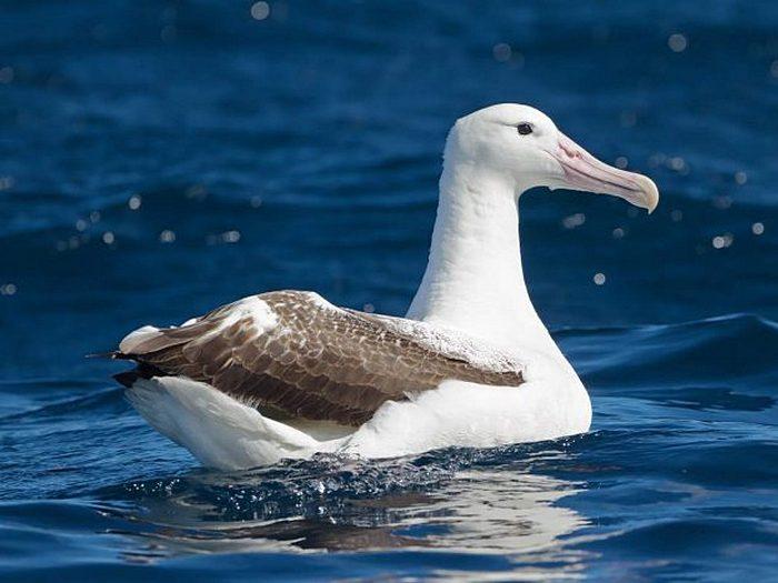Королевский альбатрос