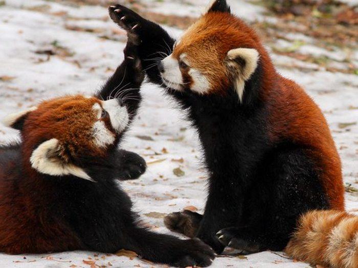 Разборки панд