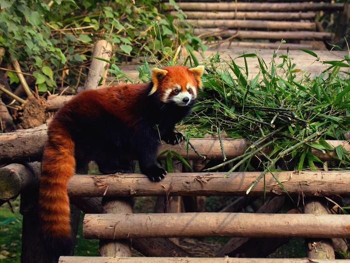 Панда или енот