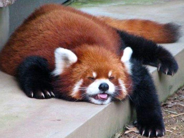 Фото-красной-панды-Лучшие-фото-7