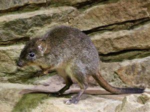 Крыса — кенгуру