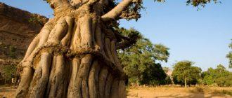 Куст баобаба