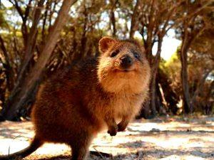 Квокка — одно из самых общительных животных