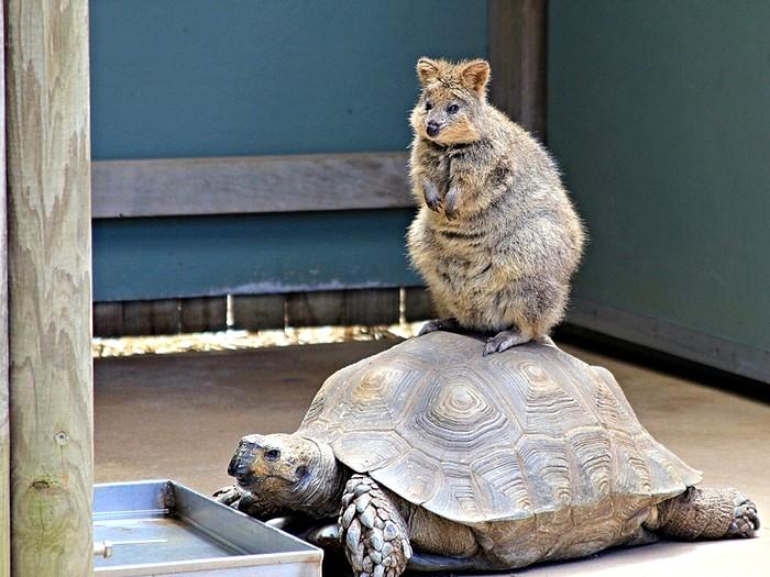 Квокка и черепаха