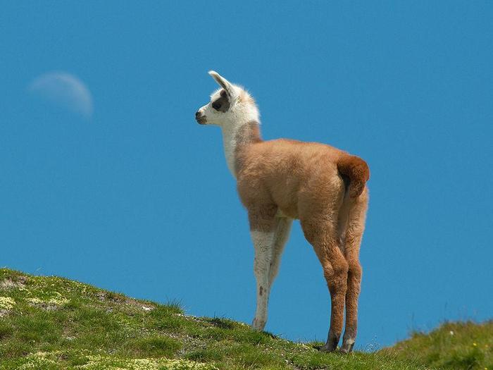 Детёныш ламы