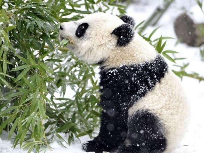 Зимний бамбук
