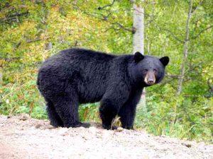 Барибал медведь. Описание и образ жизни барибала