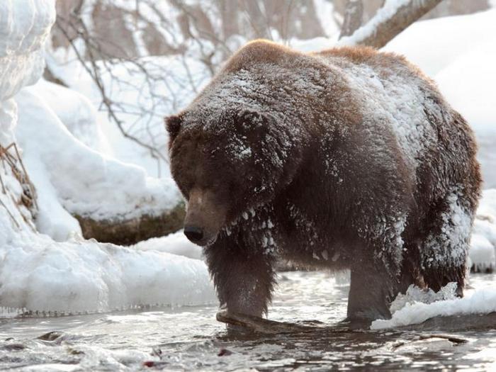 Сибирский-медведь-Описание-и-образ-жизни-сибирского-медведя-11
