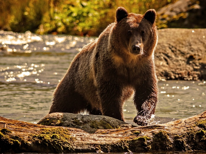 Медведь вездеход