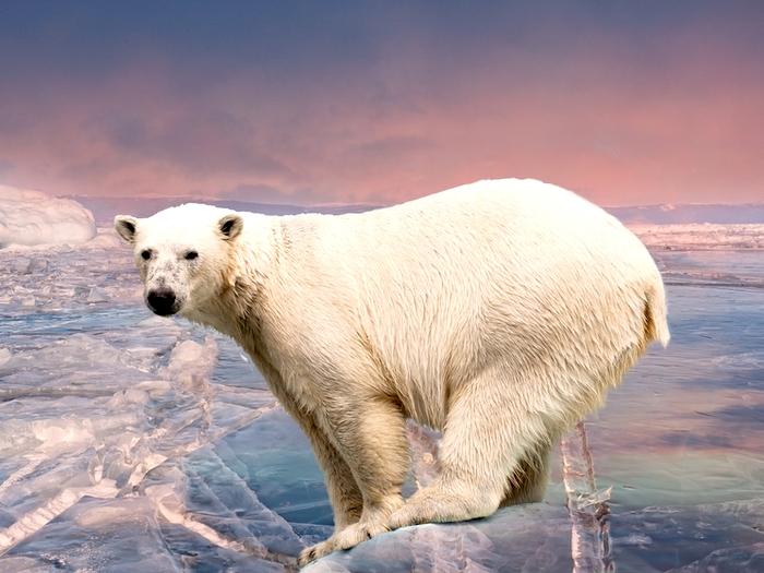 Медведи Шпицбергена