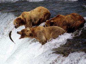 Фото бурых медведей. Лучшие фото