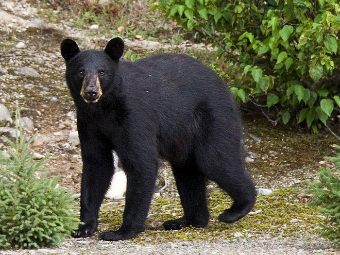 Фото-медведя-барибала-Лучшие-фото-3