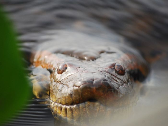 Морда гигантской анаконды