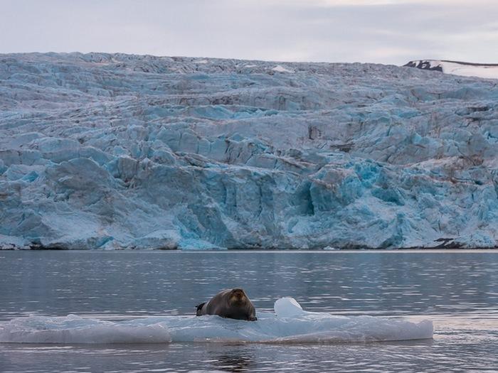 Моржи на льдинах