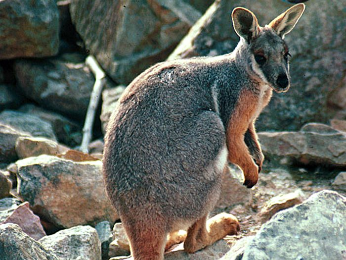 Горный кенгуру Валлару. Описание и образ жизни горного кенгуру