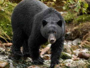 Барибал или чёрный медведь