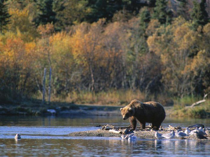 Медведица на реке