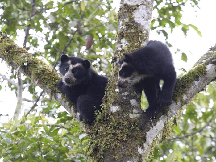 Медведи верхолазы