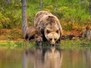Медведь на водопое